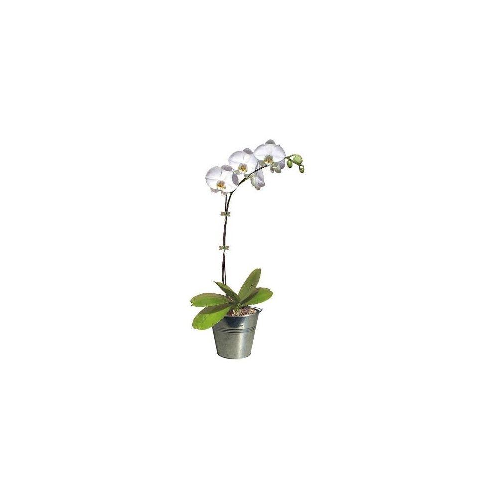 orchid e phalaenopsis blanc pur en fleurs 1 hampe florale ramifi e cache pot zinc. Black Bedroom Furniture Sets. Home Design Ideas