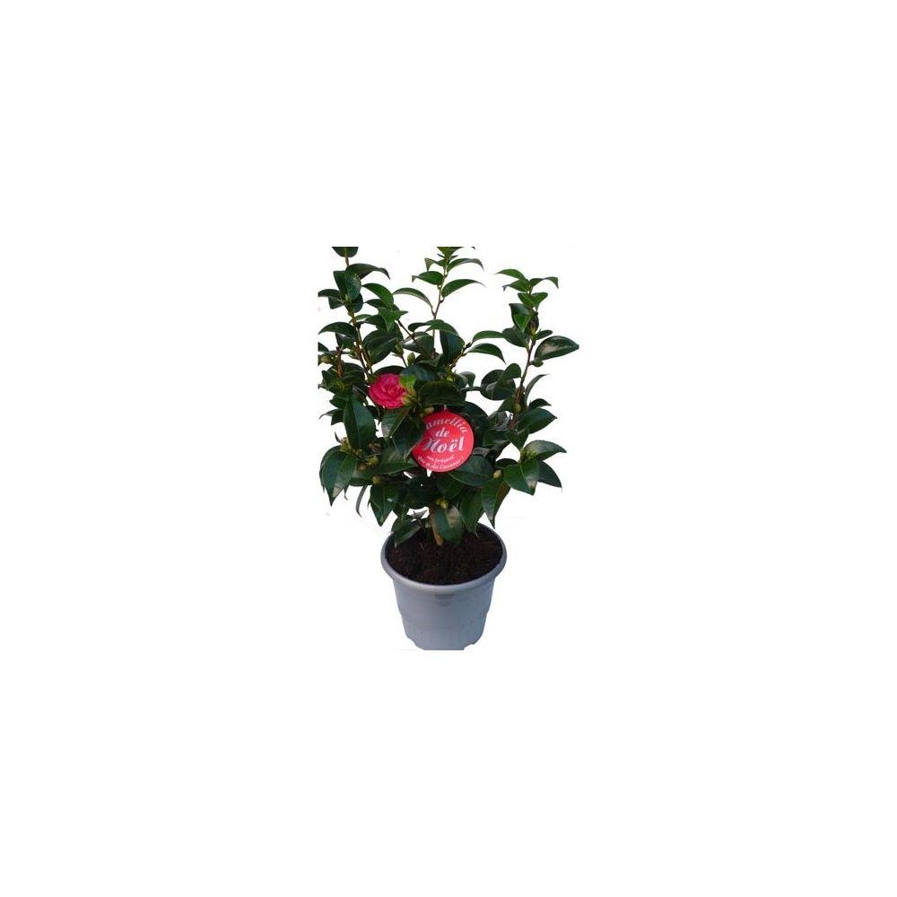 Cam lia de no l rouge plantes et jardins for Plante noel rouge