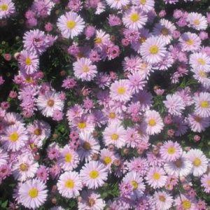 Fleurs vivaces for Catalogue de fleurs vivaces