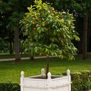 Arbre En Pot Pour Terrasse. Palmmix Plante En Pot Diverses Espces ...