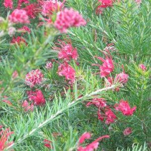 arbustes m diterran ens fleurs roses id e d 39 image de fleur. Black Bedroom Furniture Sets. Home Design Ideas