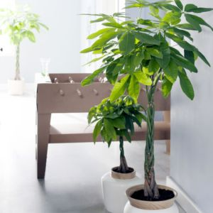 Plante pour appartement for Grande plante interieur