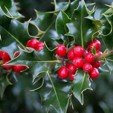 Arbustes à intérêt hivernal