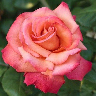 Tous nos rosiers