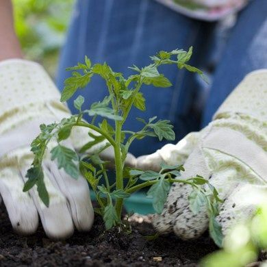Plantes potagères & aromatiques