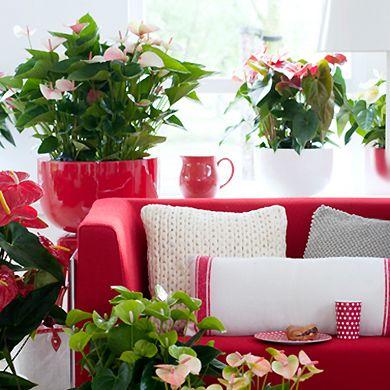 Toutes nos plantes fleuries d'intérieur